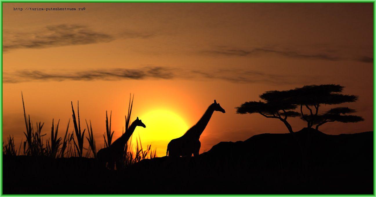 Африка - жирафы на закате