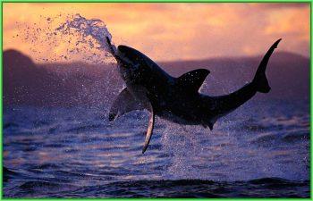 Белая акула - в результате нападения акулы несколько дней назад пострадал серфер