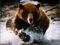к медведям камчатки - медведь в воде на реке