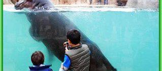 Hippo Underwater - аквариум с двумя бегемотами в Турине