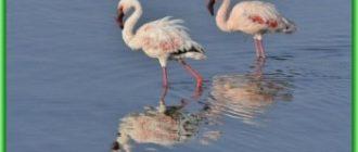 Накуру - кенийское озеро в опасности