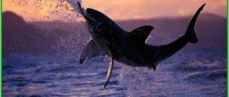 Остров Реюньон - ещё одна атака акулы