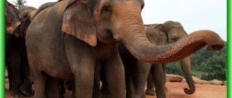 Браконьеры в Зимбабве отравили 81 слона