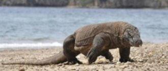 Остров Комодо закрывают для туристов